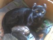Highlander Kittens for Sale