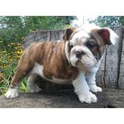 Sweet Xmas English Bulldog Puppies Available.